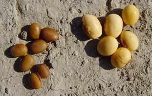 Foto mit mehreren Sojabohnen auf einem sandigen Untergrund: links eine kleinkörnige Wildform der Sojabohne im Vergleich zu einer Kulturform rechts, deren Bohnen größer und von hellerer Farbe sind.
